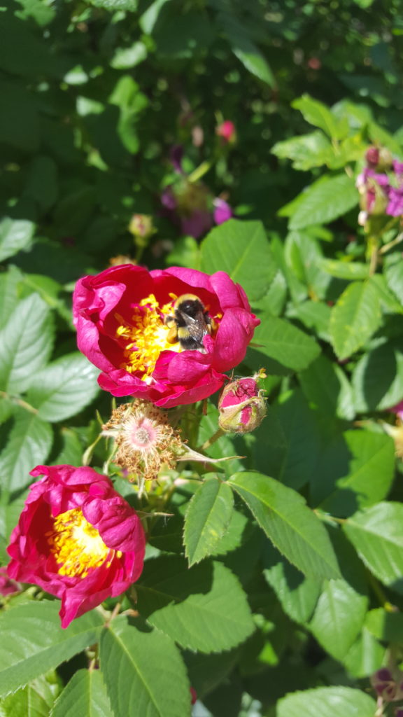 Arbour rose with bee