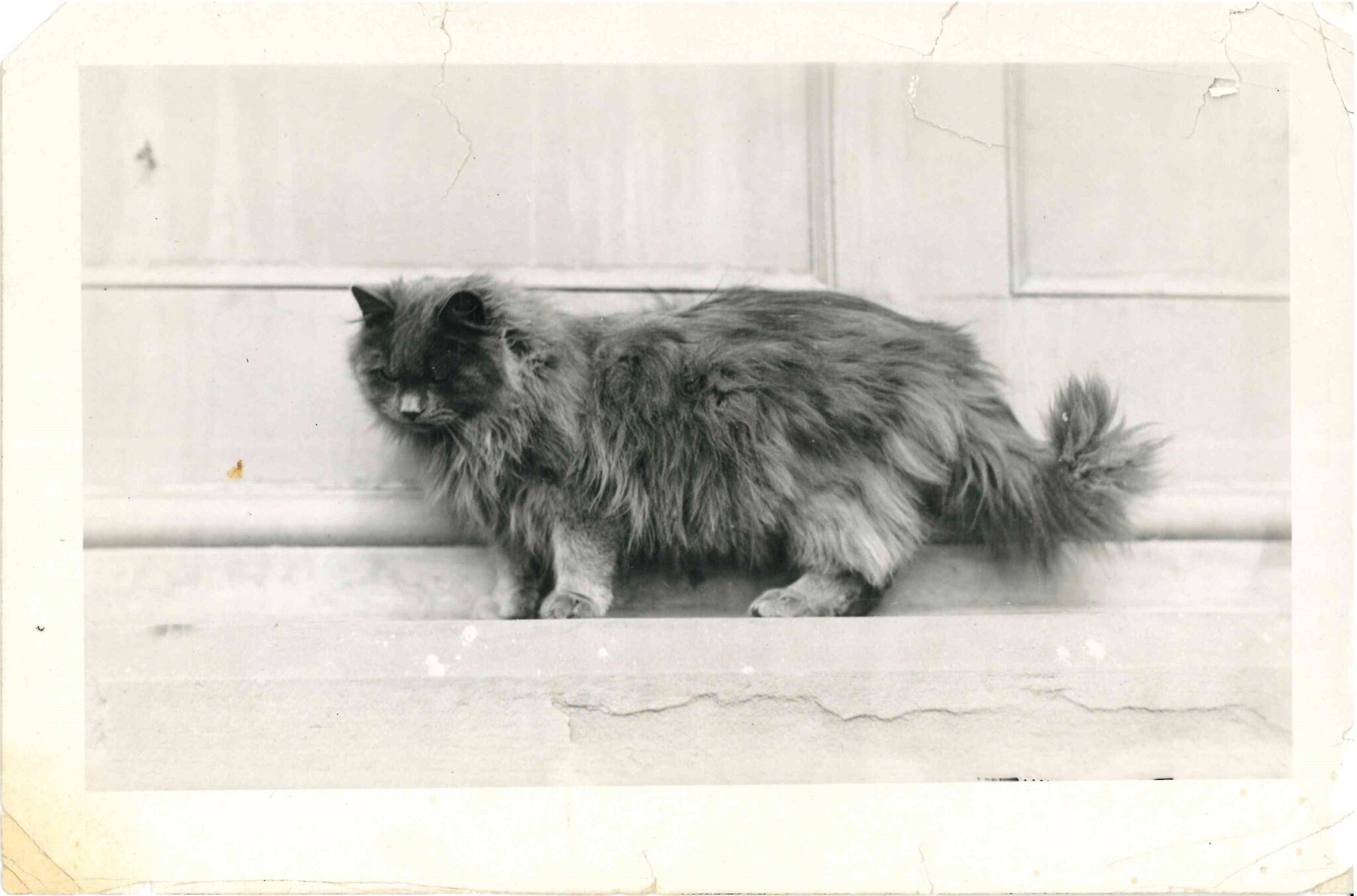 Black and white photograph of a very fluffy Persian cat.