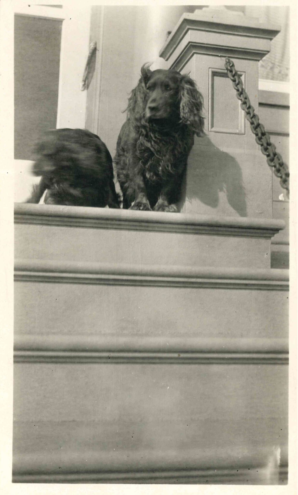 Black and white image of two black dogs, one blurred and one a spaniel breed, on the steps of Lougheed House.