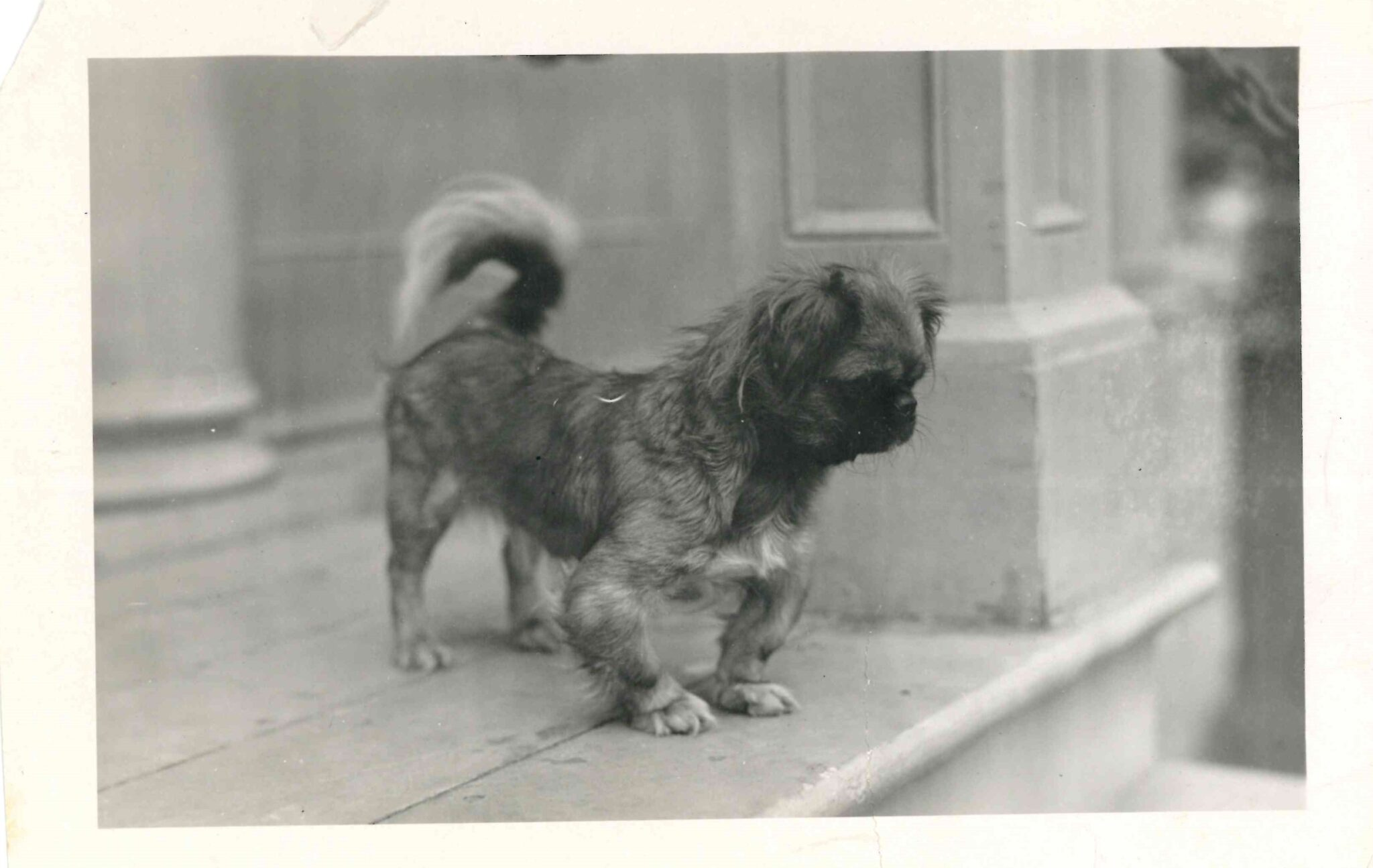 Black and white photo of a small terrier-like dog with bowed front legs.