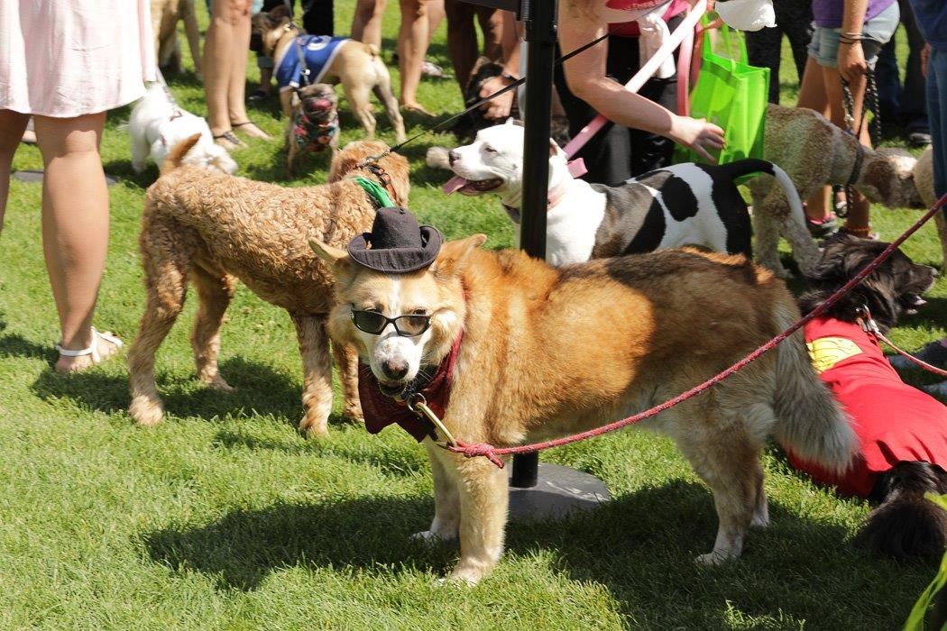 Photo of an older large-breed dog on a red rope leash, wearing a red scarf, black sunglasses, and black hat.